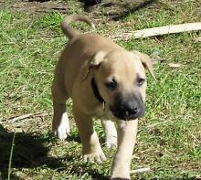 Gorgeous Great Dane, Mastiff, Bull Arab X Rutherford Maitland Area Preview