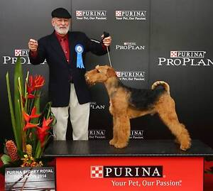 Airedale Terrier Puppies by Hanselmann 2000212430 Ebenezer Hawkesbury Area Preview
