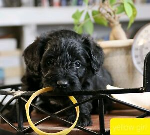 Gorgeous Schnoodle puppies