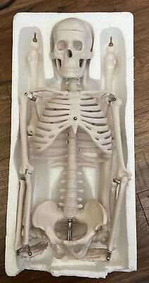 34 Inch Skeleton Model For Medical Science Anatomical Teaching