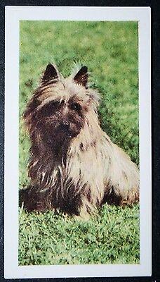 CAIRN TERRIER    Vintage Colour Photo Card ## VGC