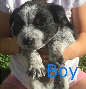 Cattle cross puppies The Oaks Wollondilly Area Preview