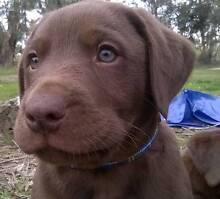 Beautiful chocolate Labrador pup Doreen Nillumbik Area Preview