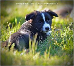 BORDER COLLIE PUPPIES Geelong Geelong City Preview