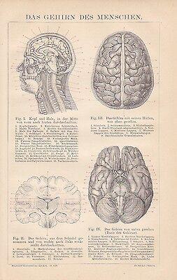 GEHIRN DES MENSCHEN Neurologie HOLZSTICH von 1884 Kleinhirn Hirnwindungen