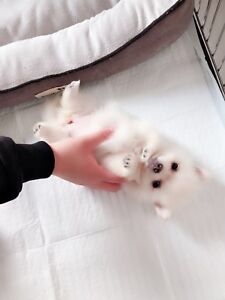 Pomeranian Adopt Local Dogs Amp Puppies In Ontario