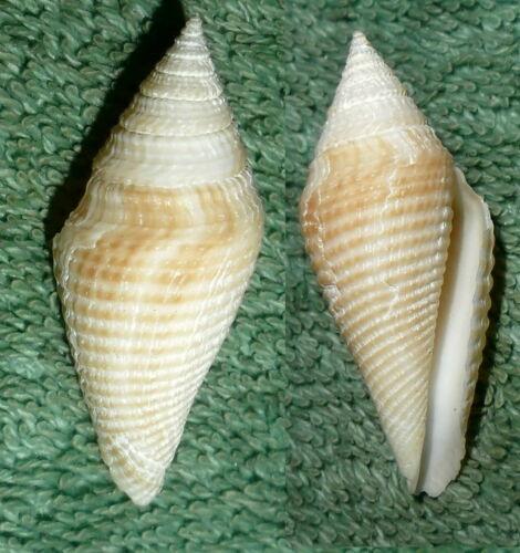 Special Collection Sale BL RFM 68351 Conus Conorbis cormandelicus E.A. Smith 189