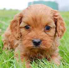 Small breed puppy wanted Waterford West Logan Area Preview