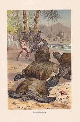 Suppenschildkröte Chelonia mydas Chromo-Lithographie von 1913 Schildkröten