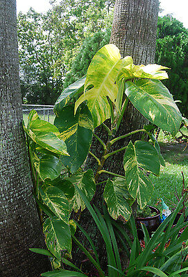 Golden Queen Pothos Vine Epipremnum - Can Grow to Jumbo Large Plant! Free ship!