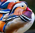Penny Ducks