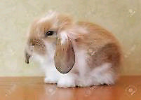 looking to buy a baby lop eared rabbit like the photos above