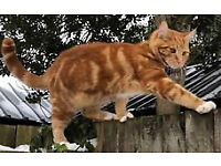 Ginger Cat missing since 8th March