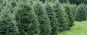 White Spruce - 7 to 8 feet tall $223.00 plus hst