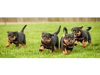 4 ROTTWEILER puppies available for sale our puppies