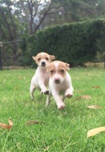 Mini Foxy x Jack Russell Puppies