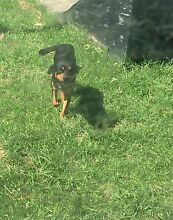 Kelpie X lab X b/cattle needs a new home Kariong Gosford Area Preview