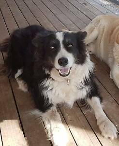 Border Collie Farm Dog - FREE TO APPROVED HOME IN THE COUNTRY ONL Bridgeman Downs Brisbane North East Preview