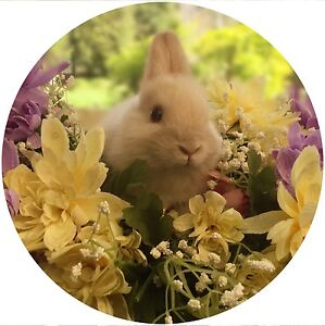 Purebred Baby Netherland Dwarf Rabbits For Sale Medowie Port Stephens Area Preview