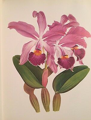 Vintage Botanical Print   Orchid in Flower – Epidendrum vitellinum (Orchid Botanical Prints)