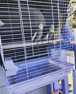 2 x Cockatiels with Cage & Stand