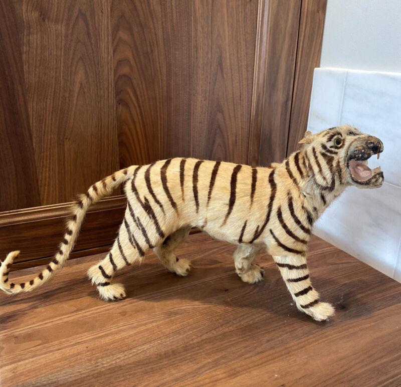 Vintage Rare, Small, REAL FUR Taxidermy Tiger, Victorian Era