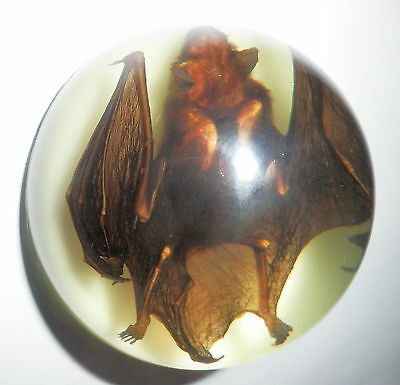 Bat Dome Paperweight Greater Bamboo Bat Specimen 67 mm on White bottom