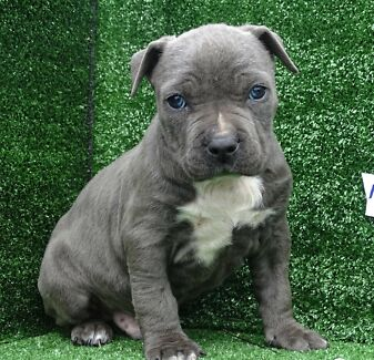 American Staffordshire terrier pups American staffy