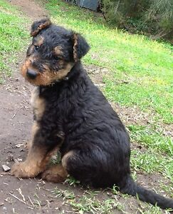 Airedale Puppies Bendigo Bendigo City Preview