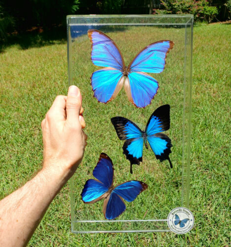 Real 3D Framed Butterflies: 3 Blue Butterflies- Acrylic Frame - Blue Morpho