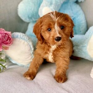 Toy Cavoodle Puppies with DNA & Health Guarantee!