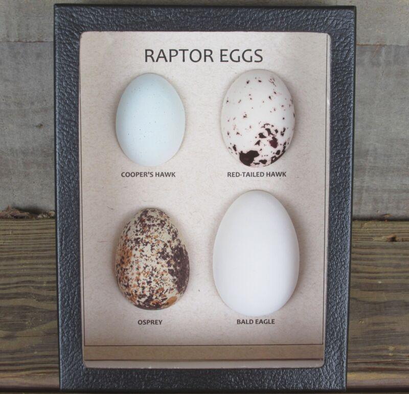 Replica RAPTOR EGGS Set of 4 framed Hawk Eagle Osprey USA bird egg museum USA
