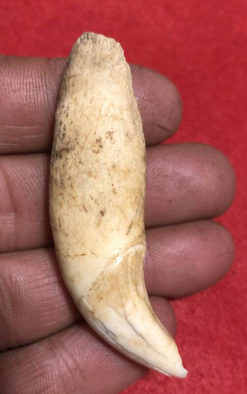 SUPER 2 1/2 B.BEAR TOOTH PENDANT-IROQUOIS PA Indian Artifact-NY Arrowhead-ONEIDA