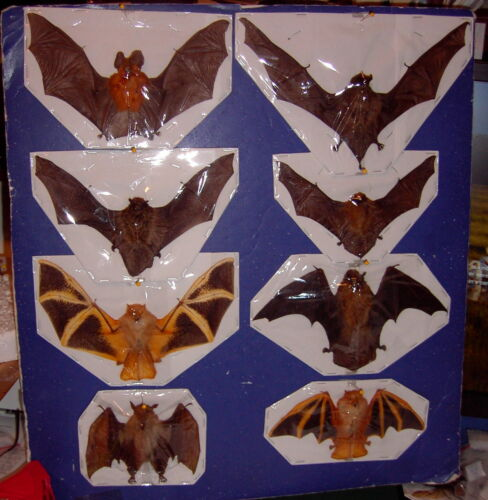 Bat Taxidermy 8 Bats 7 Different Species Displayed Spread and Folded Positions