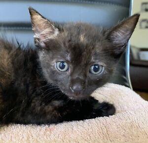 Tortoiseshell kitten - girl - 6 weeks old now