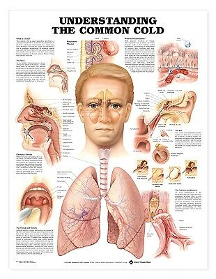 Understanding The Common Cold Anatomy Poster Anatomical Chart Company