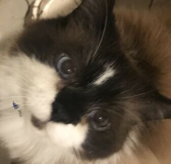 Male ragdoll cat desexed 7 years old