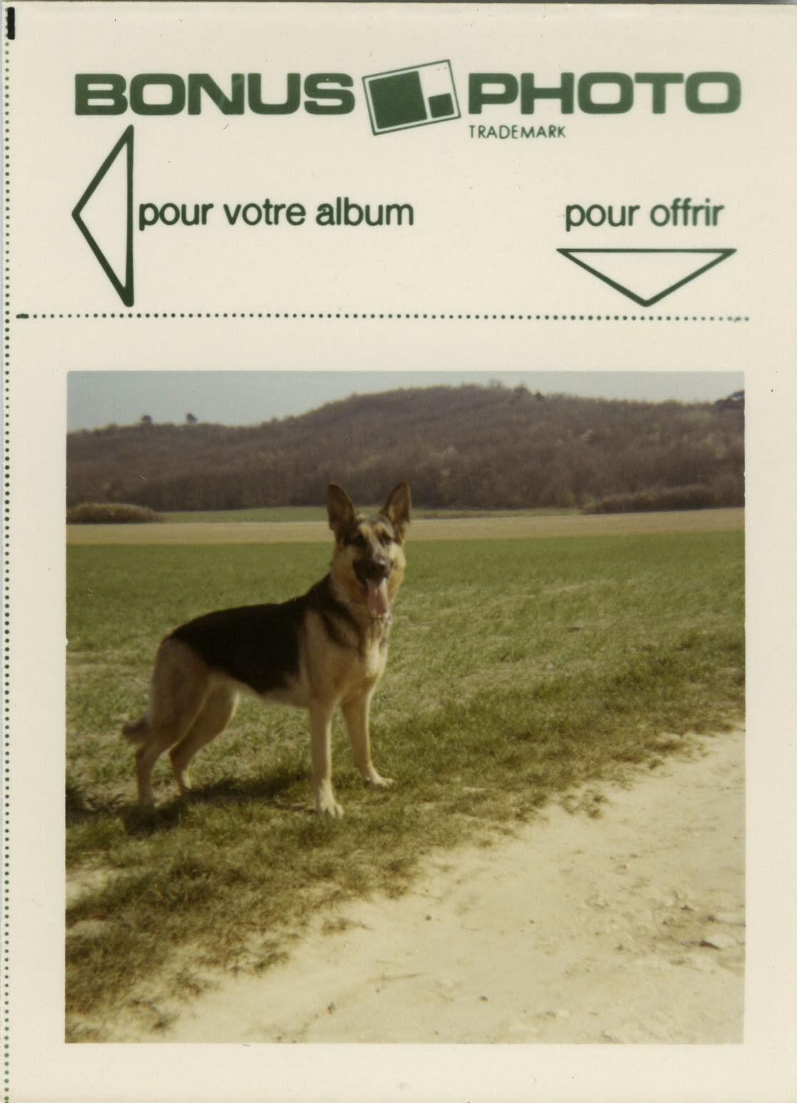 Photo ancienne - vintage snapshot - animal chien berger allemand bonus - dog 2