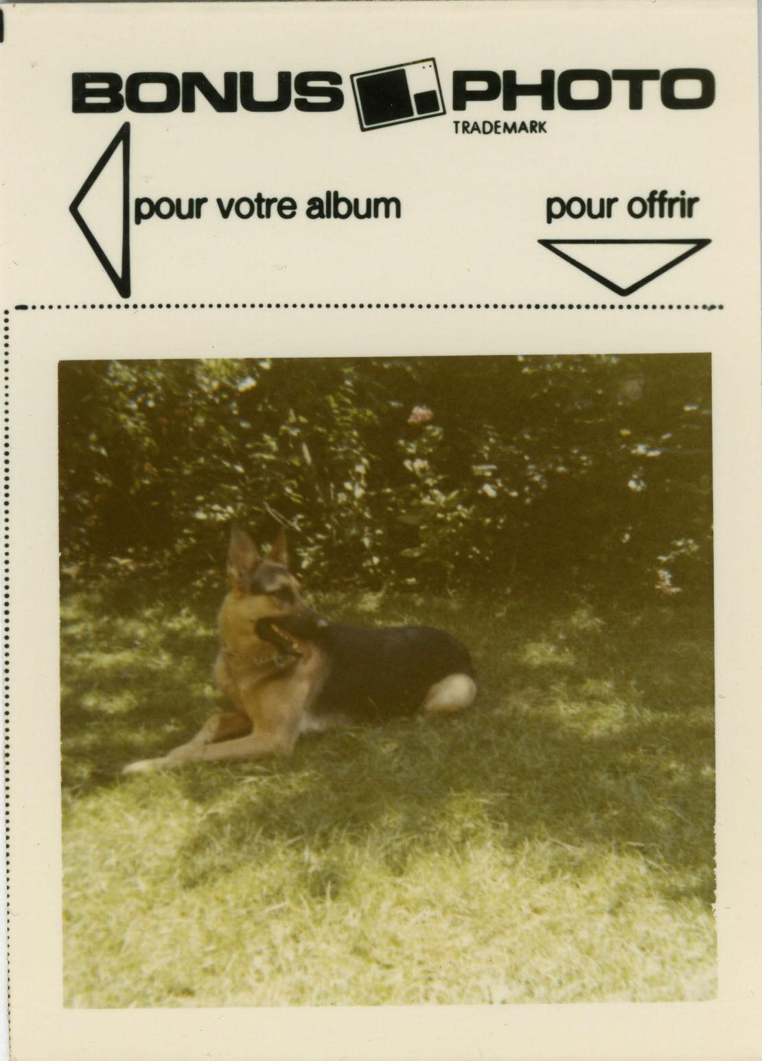 Photo ancienne - vintage snapshot - animal chien berger allemand bonus - dog 3