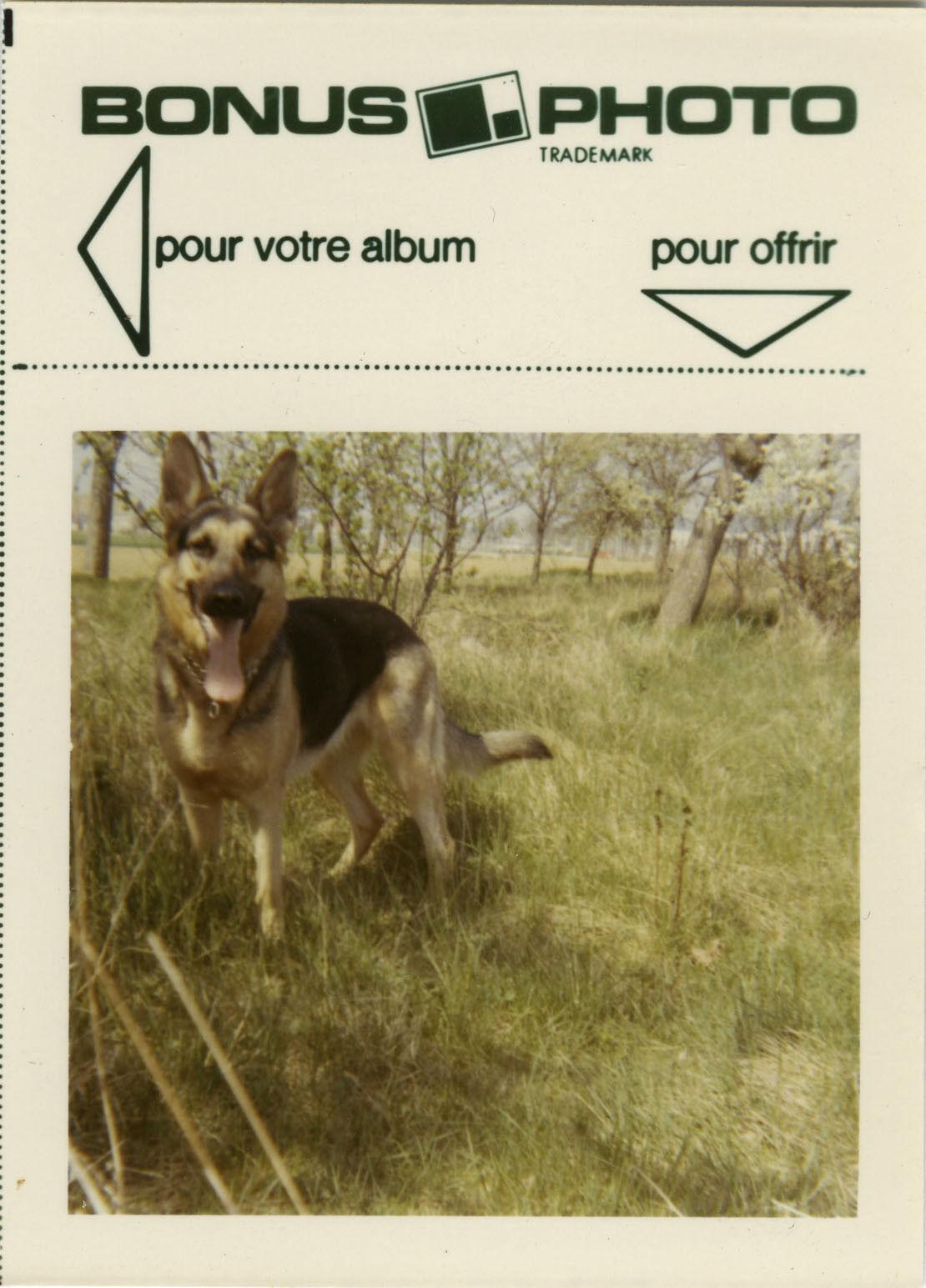 Photo ancienne - vintage snapshot - animal chien berger allemand bonus - dog 5