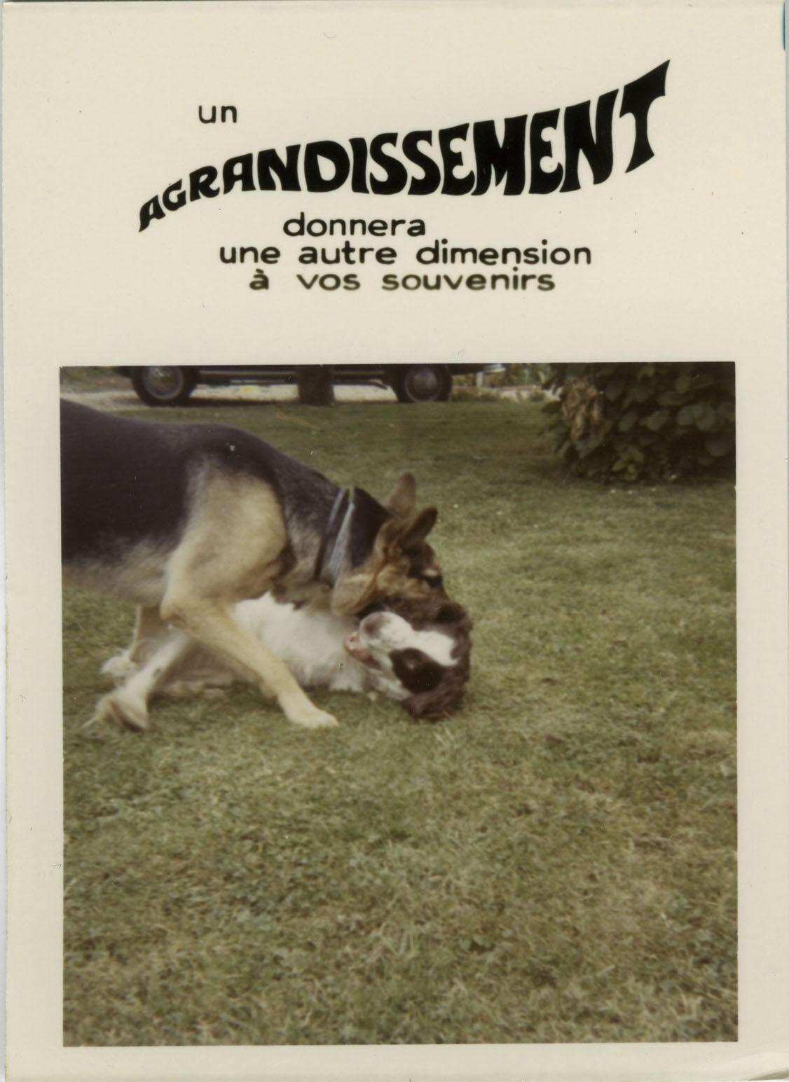 Photo ancienne - vintage snapshot - animal chien berger allemand bonus - dog 9