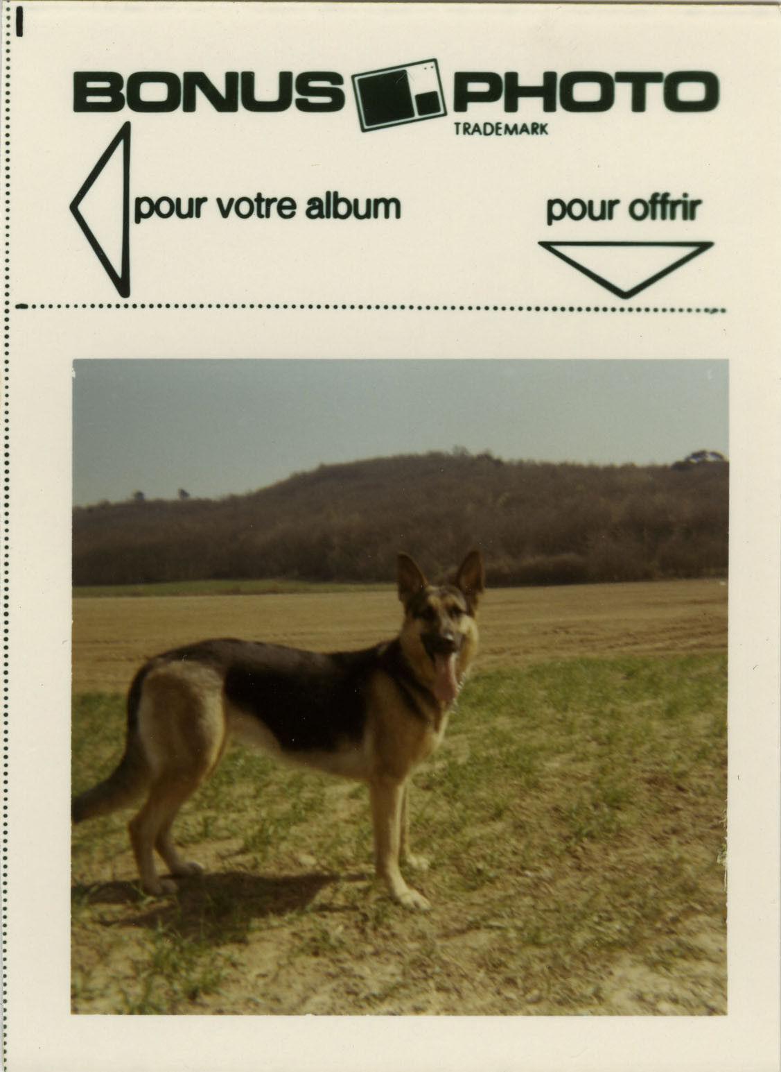 Photo ancienne - vintage snapshot - animal chien berger allemand bonus - dog 4