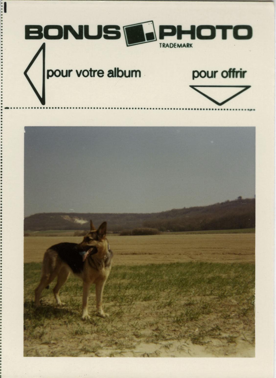 Photo ancienne - vintage snapshot - animal chien berger allemand bonus - dog 1