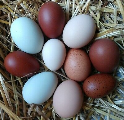 6 Hatching Eggs Hens Choice Chance Of Rare Breeds
