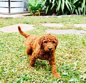 6 x RARE red standard poodle puppies for sale Wantirna South Knox Area Preview