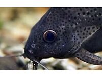 Synodontic catfish