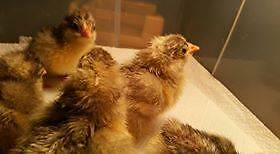 White Croad Langshan day old chicks. Tallai Gold Coast City Preview