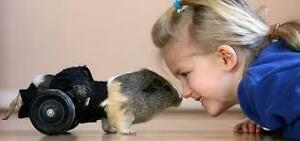 guinea pig with disability