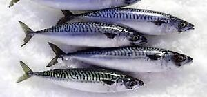 FRESH MACKEREL FOR SALE