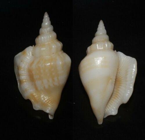 Tonyshells Seashells Strombus minimus 36.5mm F+++/GEM Superb Marine Specimen